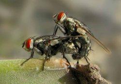 Секс про мух