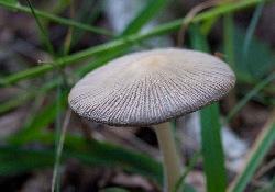 грибы-навозники