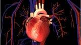 Какой путь проделывает кровь в организме